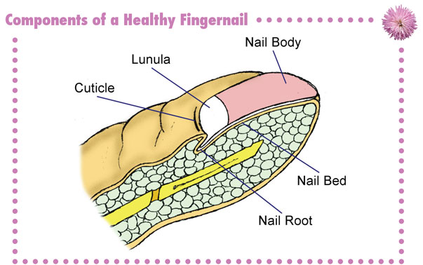NAIL RENEWAL - Restore Health For Nails That Grow Stronger | Faster Nail Growth For Dry Brittle ...